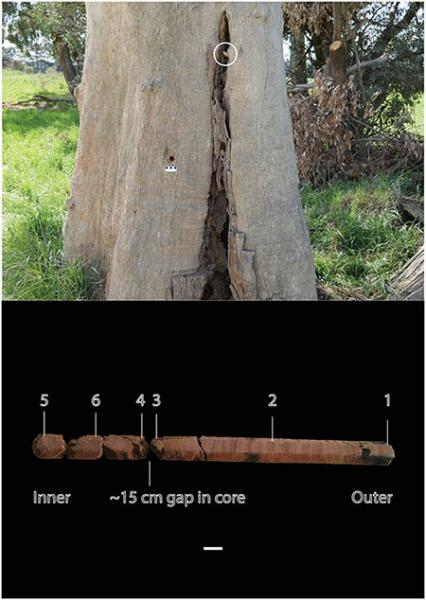 Culturally modified tree and core